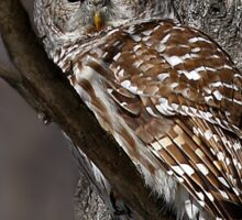 Barred Owl - Low, Quebec Sticker