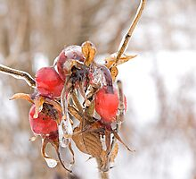 Glazed Rosehips 2 by Mike Oxley