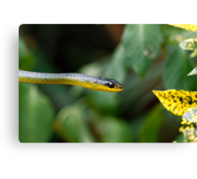 Australian green tree snake - Dendrelaphis punctulata Canvas Print