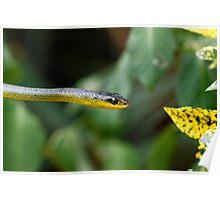 Australian green tree snake - Dendrelaphis punctulata Poster