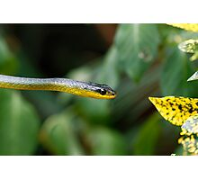 Australian green tree snake - Dendrelaphis punctulata Photographic Print