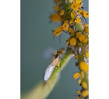 yellow aphids Photographic Print