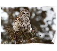 Barred Owl - Kanata Poster