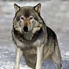 Timber Wolf at the ready by Jim Cumming