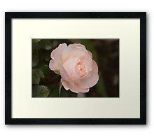 A New Zealand Rose Framed Print