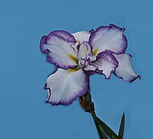 White Iris with tinge of violet by Dennis Rubin IPA