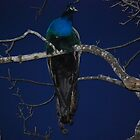 Peacock Roosting at night by Jenni Greene