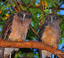 Rufous Owls (Ninox Rufa) by Geoff Beck