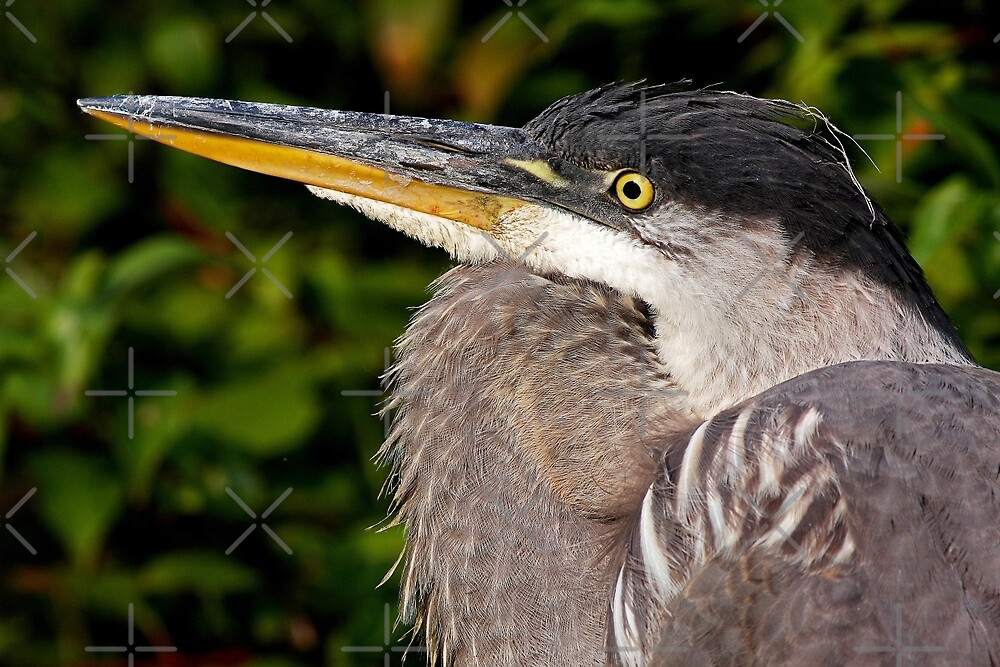 Great Blue Heron up close and personal by Jim Cumming