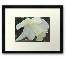 Pale Daffodil Framed Print