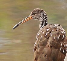 Portrait of a Limpkin by Phillip  Simmons