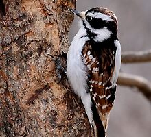 Cinnamon coloured Downy woodpecker by Jim Cumming
