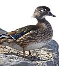 Wood Duck on the rocks by Jim Cumming