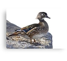 Wood Duck on the rocks Canvas Print