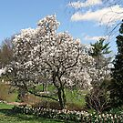 Saucer Magnolia Tree by Monnie Ryan