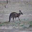 Kangaroo by Timmy Wall