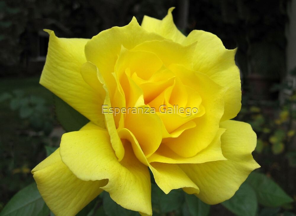 Lovely Yellow Rose by Esperanza Gallego