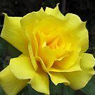 Lovely Yellow Rose by Esperanza Gallego