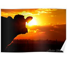 The Sunset behind the cow Poster