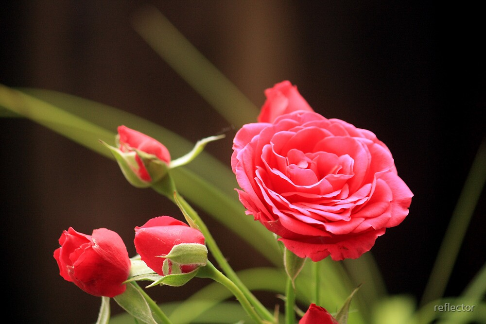 Summer Rose by reflector