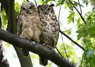 Great Horned Owls..parent and youngun by Jim Cumming