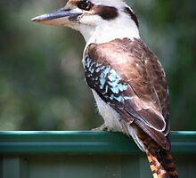 Watchful Kookaburra by Keith G. Hawley