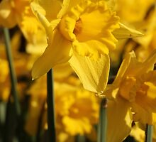 Daffodills at Ham House by IngeK73