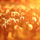 poppysuns.... by David Murphy