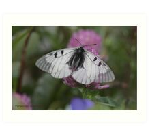 Clouded Apollo butterfly Art Print
