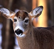 Bright eyes - White-tailed Deer by Jim Cumming