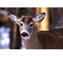 Bright eyes - White-tailed Deer Photographic Print