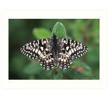 Spanish Festoon butterfly Art Print