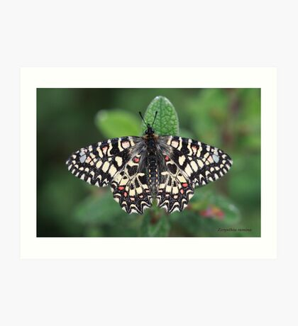 Spanish Festoon butterfly Art Print