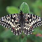 Spanish Festoon butterfly by Hugh J Griffiths