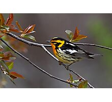 Blackburnian Warbler Photographic Print