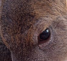 deers eye by cherylc1