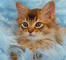 Chocolate somali kitten portrait by sarahnewton
