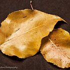 Golden autumn leaves. by Judy Lawhon