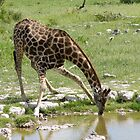 Giraffe drinking at Etosha, Namibia by Andreas1978