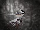 Chickadee In Snow by Shelly Harris