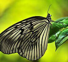 White butterfly by mrLEV