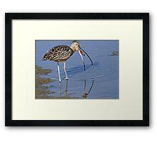 Long Billed Curlew Framed Print