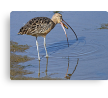 Long Billed Curlew Canvas Print
