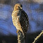 Red Tailed Hawk by Jane Best