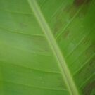 Banana Leaf by Timmy Wall