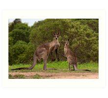 Eastern grey Kangaroos - Australia Art Print