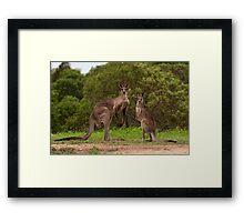 Eastern grey Kangaroos - Australia Framed Print