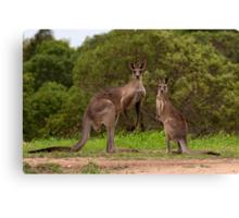 Eastern grey Kangaroos - Australia Canvas Print