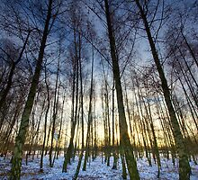 Winter Birches by Andrew Leighton