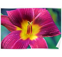Red Daylilly Poster